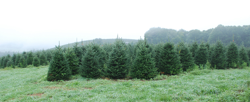 Wholesale North Carolina Fraser Fir Christmas Tree Frield