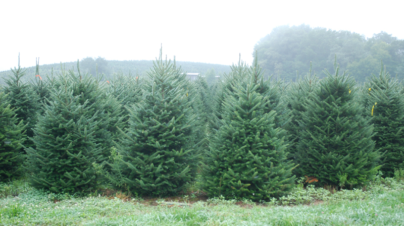 North Carolina Fraser Fir Trees - Pictures Of North Carolina Fraser Fir Christmas Trees
