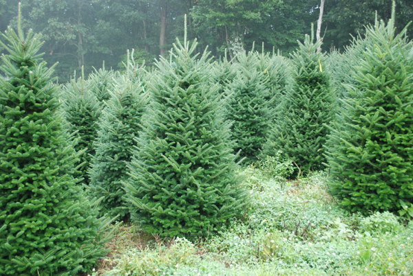 - Pictures Of North Carolina Fraser Fir Christmas Trees