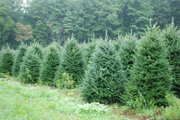 Christmas Tree Wholesale Prices