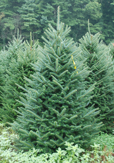 Christmas tree decorations blue and green - Pictures Of North Carolina Fraser Fir Christmas Trees